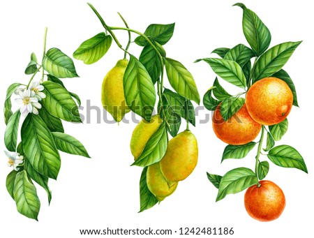 branches with green leaves, flowers, ripe fruits on an isolated white background, watercolor illustration, botanical painting, a collection of citrus fruits, orange, lemons, tangerines
