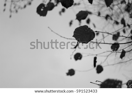Branches with leaves. Silhouette of foliage and dark sky in the background. Melancholic atmosphere. Copy space composition (dark exposure with silhouettes, very low depth of field) #591523433