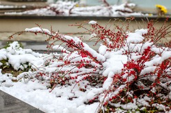 Branches with red berries under snow