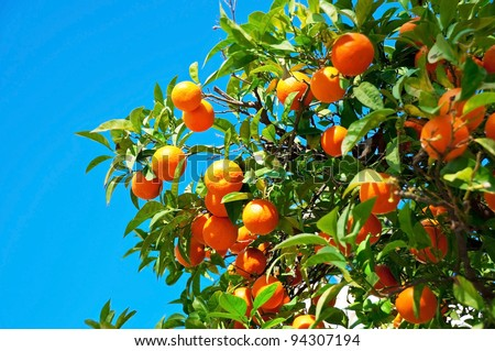 Branches with the fruits of the tangerine trees, Sevilla, Spain