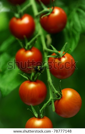 branches with tomatoes in a room for growing vegetables
