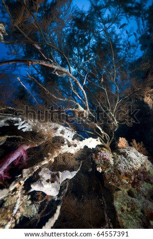 Branching black coral and fish in the Red Sea.