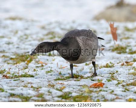 Brant Goose in Winter