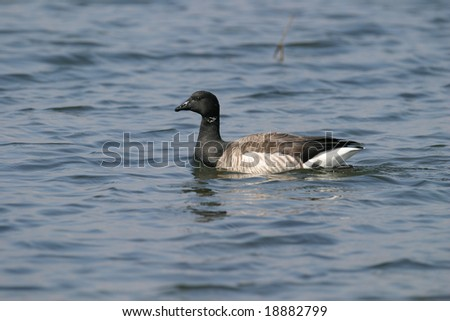 Brant Goose Swimming at Sandy Hook, New Jersey For Nature Guide