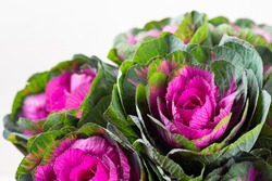Brassica decorative cabbage for floristry.