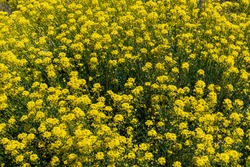 Brassica napus belongs to the Brassicaceae family