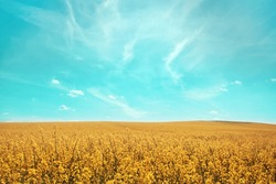 Brassica napus. Plant for green energy and oil industry, springtime golden flowering field. Golden field of flowering rapeseed with blue sky. Canola or colza in latin Brassica Napus.