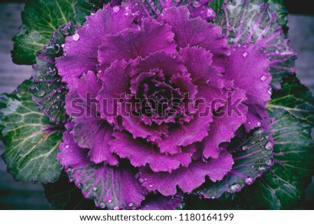 BRassica oleracea, ornamental cabbage with dew drops