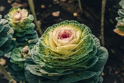 Brassica or decay cabbage flowers. Selective focus