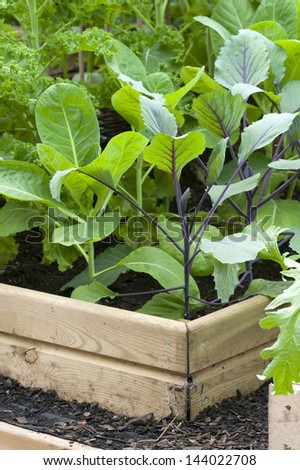 brassica plants growing in a raised bed