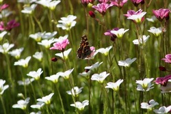 Braun butterfly with closed wings on a white flower. High quality photo.. Selective focus