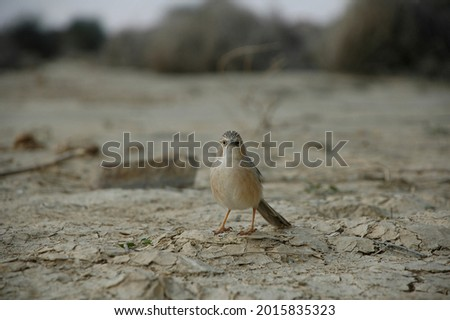 Brauner Vogel der auf trockener Erde steht, schaut verwundert zur Kamera Stock fotó ©