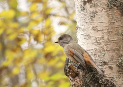 Brave and beautiful Siberian Jay (Perisoreus infaustus) sitting on a broken branch of a birch on a sunny autumn day in Oulanka National park, Finland