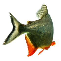 brazil fish farming black finned tambaqui fish tale studio aquarium shot brazil fish farming color wildlife colour animal amazon water white freshwater swim ecuador amazonia venezuela aquarium farm gi