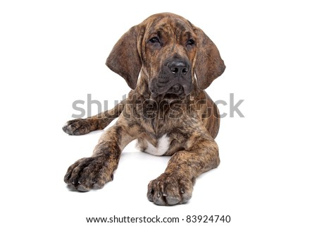 Brazilian Mastiff also known as Fila Brasileiro puppy in front of a white background