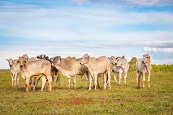 Brazilian nelore catle on pasture in Brazil's countryside.