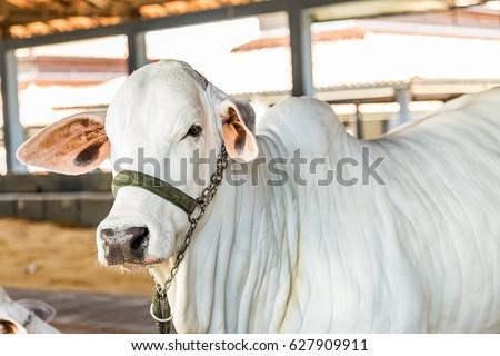 Brazilian Nelore elite cattle in a Exhibition park