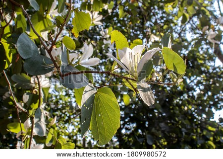 Brazilian orchid tree or pata-de-vaca, Bauhinia forficata, tree of the Fabaceae family greatly appreciated in landscaping Foto stock ©