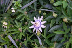Brazilian Passionflower 2 - RHS Wisley, Surrey