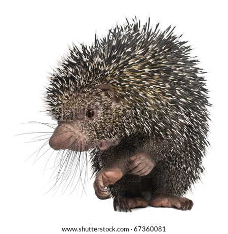 Brazilian Porcupine, Coendou prehensilis, standing in front of white background - stock photo