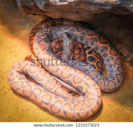 brazilian rainbow boa / Snake of boa lying on the ground - Epicrates cenchria cenchria snake rainbow boa