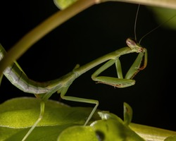Brazilian Small Male Mantid of the Genus Oxyopsis in detail with selective focus