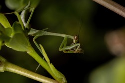Brazilian Small Male Mantid of the Genus Oxyopsis preying on a moth caterpillar