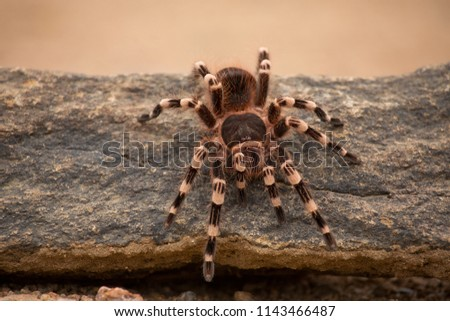 Brazilian whiteknee tarantula (Acanthoscurria geniculata) is a species of tarantula from Brazil that is commonly kept as a pet.