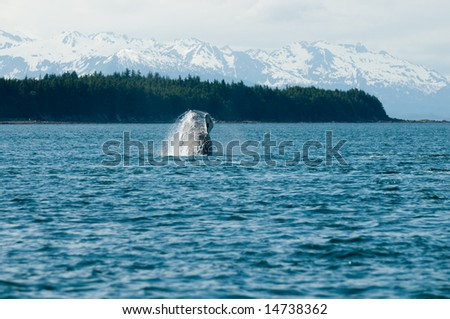 Breaching whales in Alaska.  Near Auk Bay, Juneau.  Seen in the background are snow capped Alaskan mountain range.  Sequence 3 of 9.