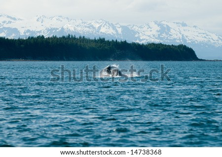 Breaching whales in Alaska.  Near Auk Bay, Juneau.  Seen in the background are snow capped Alaskan mountain range.  Sequence 5 of 9.