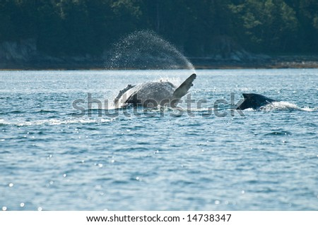Breaching whales in Alaska.  Near Auk Bay, Juneau.   Sequence 6 of 8.