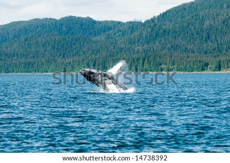 Breaching whales in Alaska.  Near Auk Bay, Juneau.   Sequence 4 of 8.