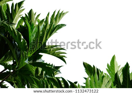 Breadfruit plant leaves with branches on white isolated background for green foliage backdrop  #1132473122