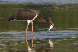 breakfast for black stork