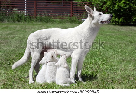 breast feeding Swiss shepherd dog with pups