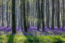 Breathtaking bluebell woodland in the morning sunlight