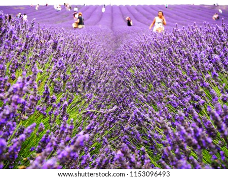 Breathtaking Lavender field, Hitchin Lavender Field, Ickleford, England. June to September is the best time to visit the field of lavender with full bloom, picture of big blue field is unforgettable