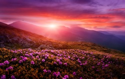 Breathtaking nature scenery during sunset. Scenic image of fairy-tale highland in sunlit. Incredible foggy morning in mountains with amazing pink rhododenndron flovers. Picture of wild area. postcard