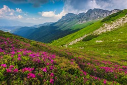 Breathtaking summer landscape, alpine colorful pink rhododendron mountain flowers on the slopes in Bucegi mountains, Carpathians, Transylvania, Romania, Europe