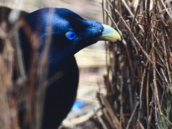 Breathtakingly Impressive Male Satin Bowerbird Producing Saliva to be Used For Painting his Bower.