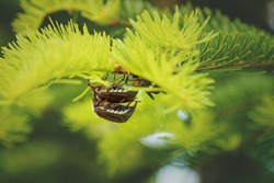 Breeding cockchafers or may bugs on a sunny evergreen tree, these bugs are breeding every two years and are a danger for agriculture as they eat leaves and buds, Austria, Europe