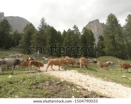 breeding cows in the pastures on the Dolomites #1504790033