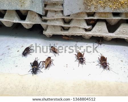 Breeding cricket farm breeding farm #1368804512