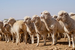 breeding ewes of pure breed Dzhalginsky merino