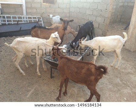 Breeding goat milking breeds authentic Sinan White Albin is one of the most famous free professions that need patience #1496184134