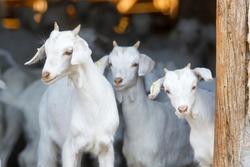 Breeding goats in a farm. Livestock exploitation in Spain.