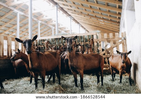 Breeding of purebred alpine goats on the farm. Hornless well-groomed goats. Brown goats without horns eat hay. Photo stock ©