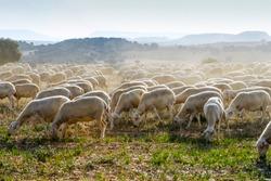 Breeding of sheep in a farm. Livestock exploitation in Spain.