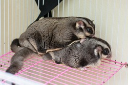 Breeding of Sugar Gliders, Male sugar glider holding his female with his tiny hands, Sugar Rider in a cage