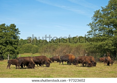 Breeding of the American bison. Poland